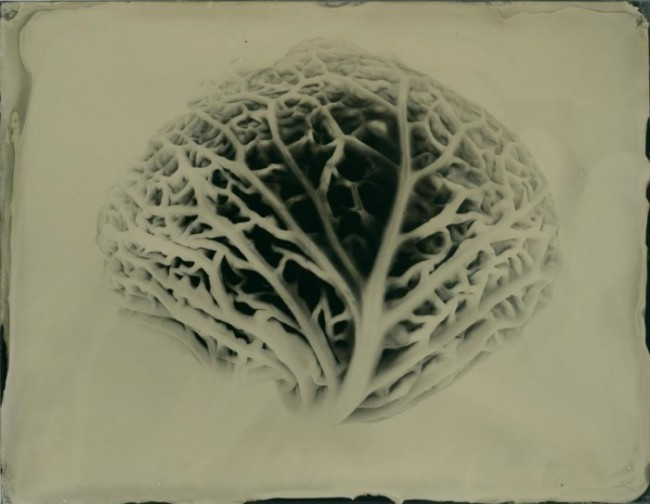 Vascular - whole plate collodion on aluminum